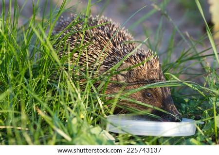 Hedgehog drinks milk on the green grass - stock photo