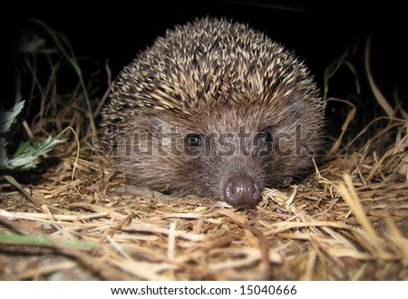 hedgehog during the night escapade - stock photo