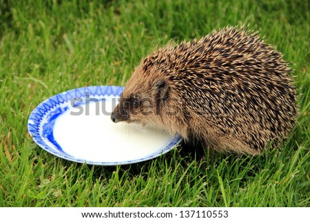 Hedgehog  in forest - stock photo