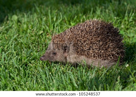 Hedgehog in fresh green grass - stock photo
