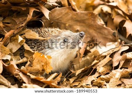 hedgehog in leaves - stock photo