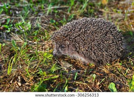 Hedgehog in natural habitat - stock photo