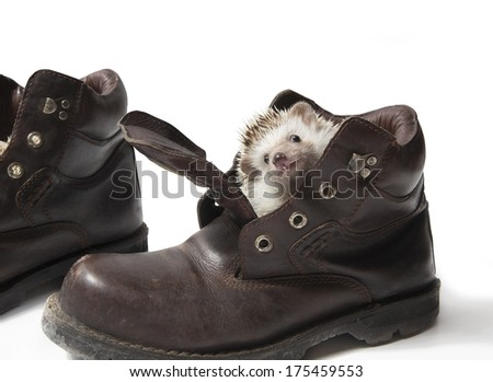 hedgehog in shoes - stock photo