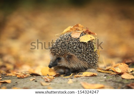 Hedgehog in the autumn forest - stock photo