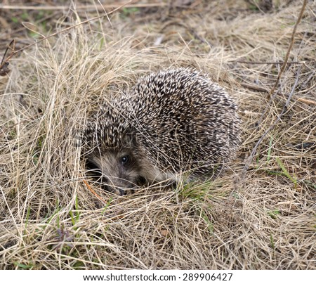 hedgehog in the grass closeup - stock photo