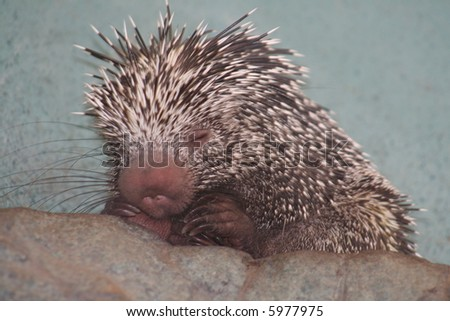 Hedgehog in Washington Zoo - stock photo