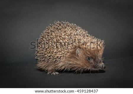 Hedgehog, isolated on black background - stock photo
