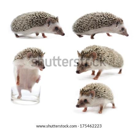 hedgehog isolated on white background - stock photo