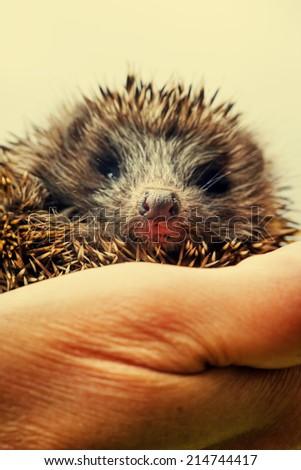 Hedgehog lying in human hands / selective focus - stock photo