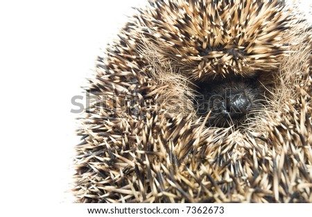 hedgehog of a white background - stock photo
