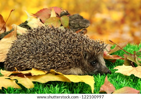 Hedgehog on autumn leaves in forest - stock photo