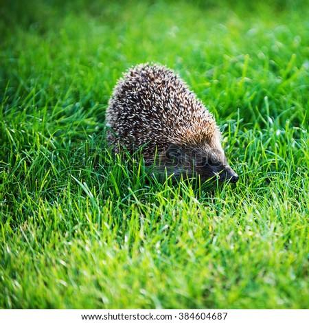 hedgehog on green lawn in backyard - stock photo