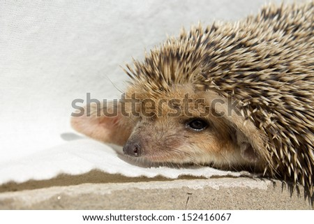 hedgehog on the background - stock photo