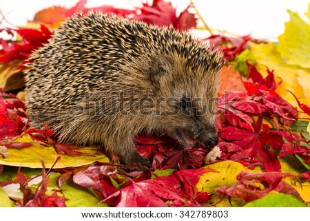 Hedgehog sitting on autumn leaves and eating some minced meat. - stock photo