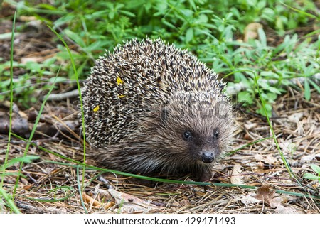 Hedgehog sitting on the ground in coniferous forest near to a small town - stock photo