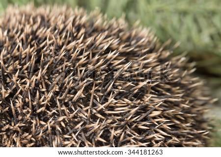 Hedgehog texture close up / Close up of hedgehog needles  - stock photo