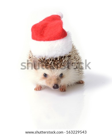 Hedgehog wearing red santa claus hat for Christmas celebration on white background. - stock photo