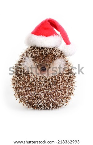 Hedgehog wearing red santa hat look like a little ball on white background. - stock photo
