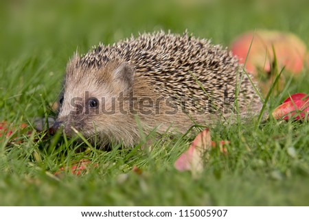 hedgehog with an apple - stock photo