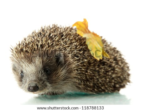 Hedgehog with autumn leaf, isolated on white - stock photo
