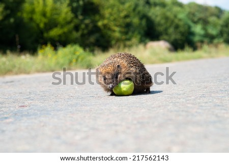Hedgehog with green apple - stock photo