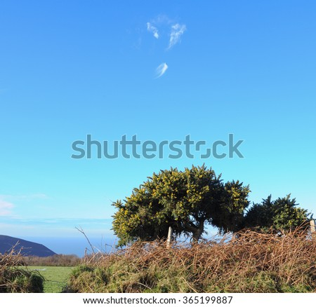 Hedgerow with Yellow Flowering Gorse and Wispy Clouds in the Sky around the Rural Village of Martinhoe within Exmoor National Park in Devon, England, UK - stock photo