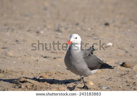 Heermann's Gull - stock photo