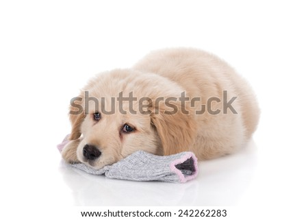 Height weeks old Golden Retriever laying down on sock on white background - stock photo