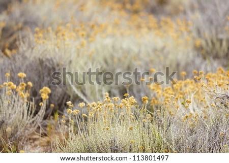 Helichrysum arenarium plants, shallow depth of field - stock photo