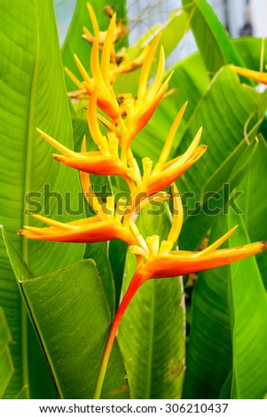 Heliconia are native to North America and islands in the Caribbean. - stock photo
