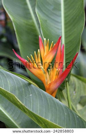 Heliconia flower on yellow and red over a green background - stock photo