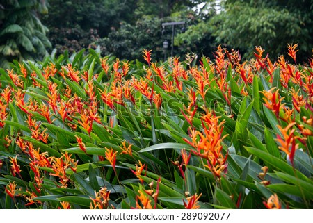 Heliconia flowers in the garden - stock photo