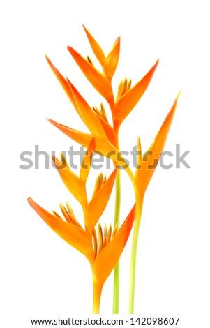 Heliconia : Golden Torch., Orange Torch.  (H.psittacorum L.f. x H. spathocircinata Aristeguieta) blooming on isolate white background. - stock photo