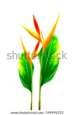 h alphabet in love  Heliconia : Golden Torch....