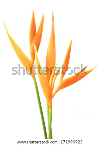 Heliconia : Golden Torch., Orange Torch. (H.psittacorum L.f. x H. spathocircinata Aristeguieta) blooming on isolate white background. - stock photo