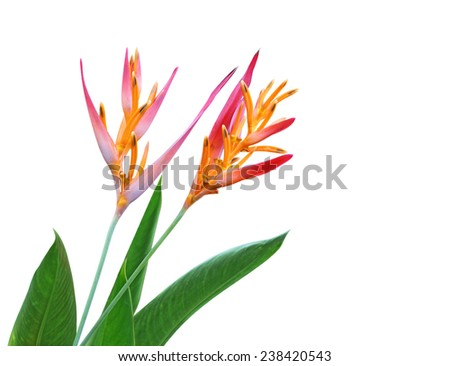 Heliconia Latispatha flower and leaf isolated on white background - stock photo