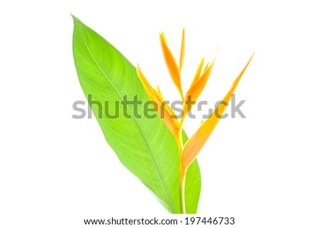 Heliconia Lobster-claw orange yellow Flower isolated - stock photo
