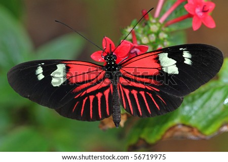 Heliconius Butterfly also known as a Piano Key butterfly - stock photo
