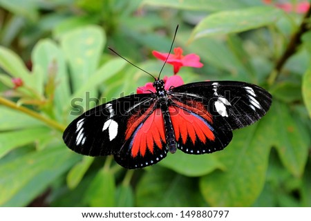 heliconius doris butterfly closeup - stock photo