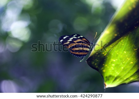 Heliconius ismenius tropical butterfly in a rain forest setting - stock photo