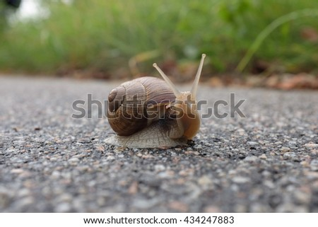 Helix pomatia - Burgundy Snail - stock photo