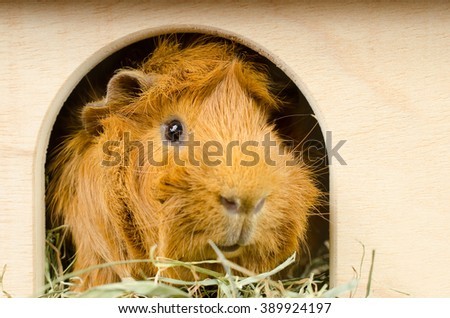 hello! (red haired guinea pig) - stock photo