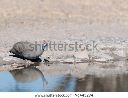 helmeted Guinea fowl at the water - stock photo
