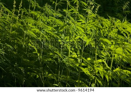Hemp is a common name for Cannabis sativa and the name most used when this annual plant is grown for non-drug purposes. These include the industrial purposes. - stock photo