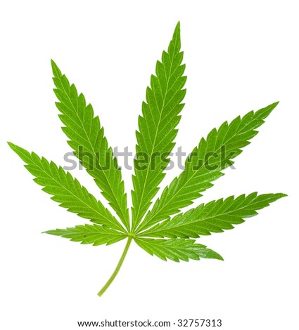 hemp leaf isolated on a white - stock photo