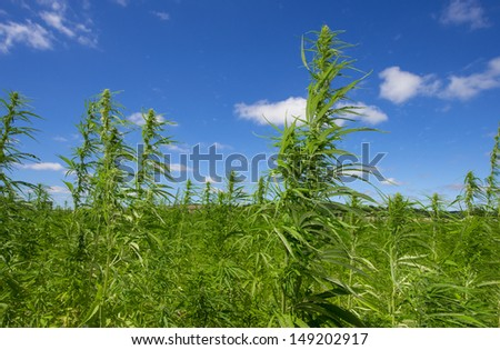 hemp (technical cannabis) - stock photo