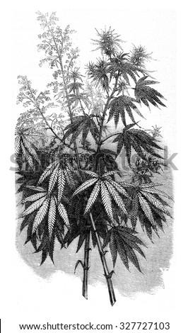 Hemp, vintage engraved illustration. Magasin Pittoresque (1882). - stock photo
