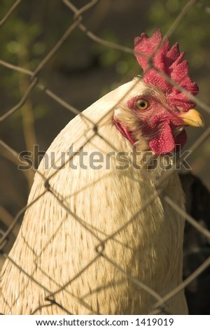 hen - stock photo