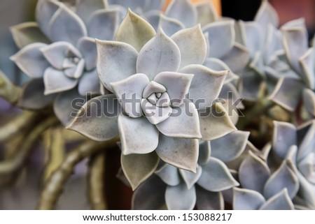 Hen-and-Chickens /Crassulaceae / Houseleek/ Sempervivum decorative plant  - stock photo