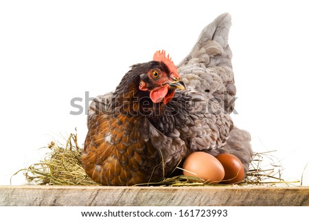 Hen in nest with eggs isolated on white - stock photo